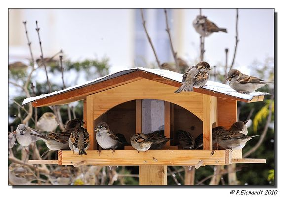 Spatzeninvasion am Vogelfutterhaus
