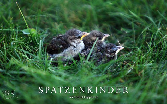Spatzenkinder im Gras