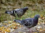 Spaziergang der Tauben