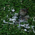 Sperber reißt Taube