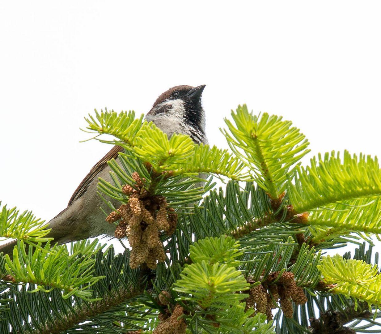 Sperling im Nadelbaum