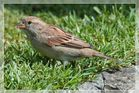 Sperling (Passer domesticus)
