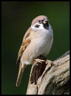 - Sperling -( Passer montanus )