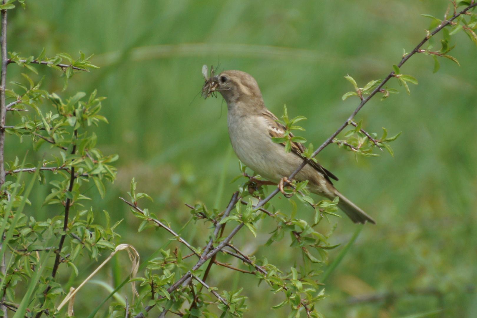 Sperling -Weibchen