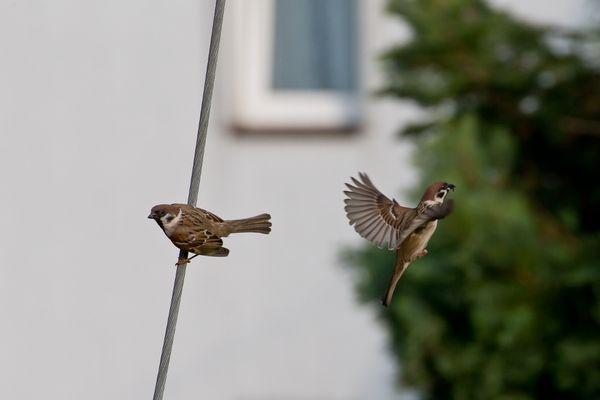 Sperlingsfütterung