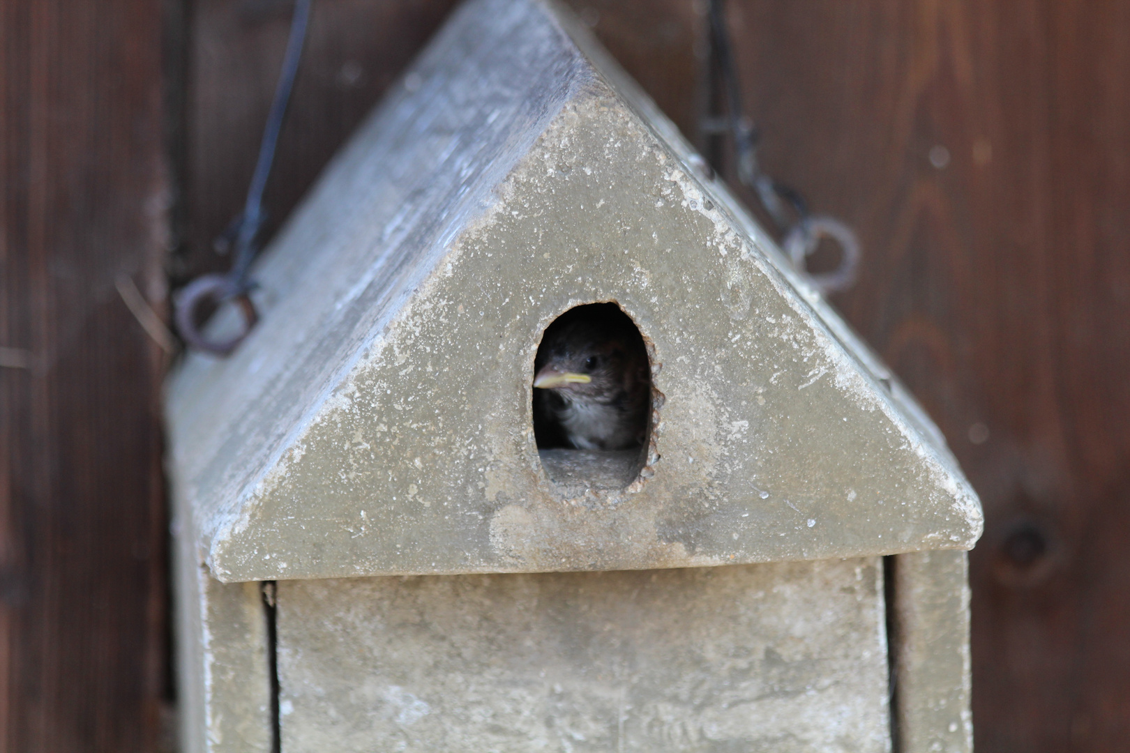 Sperlingsvögelchen
