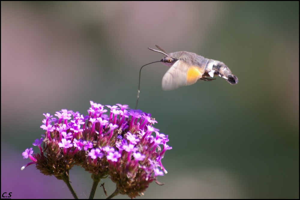 sphinx colibri 2