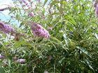 sphynx-colibri