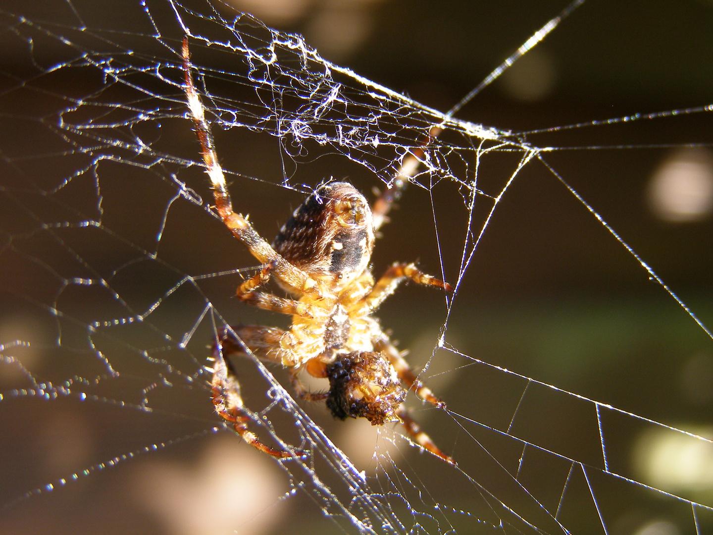 Spider beim futtern
