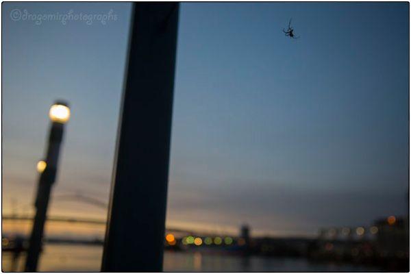 Spider Evening