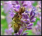 Spider grabs bee