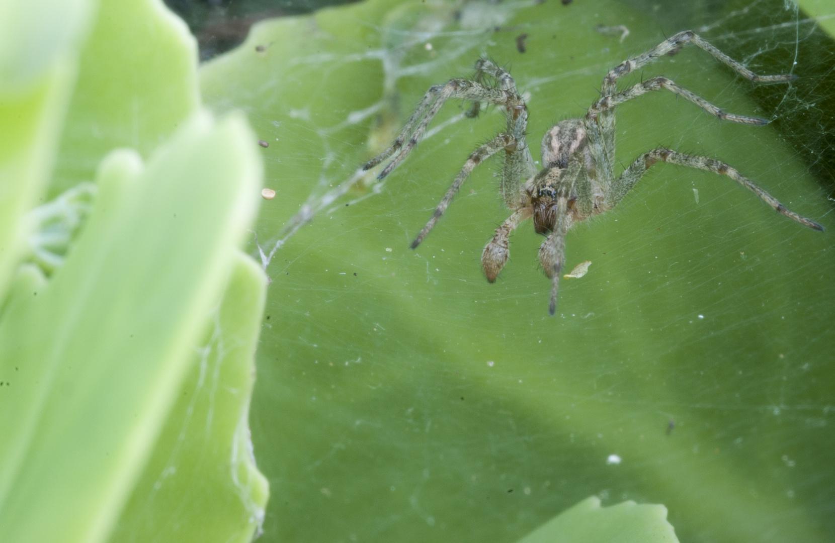 Spider II [Agelenidae (Trichternetzspinne)]