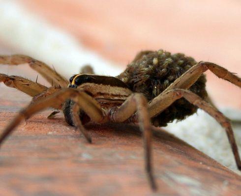 Spider & It's Babies