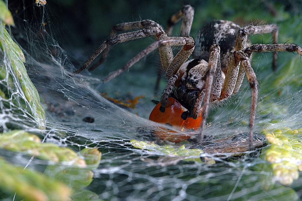 spidergirl mit beute