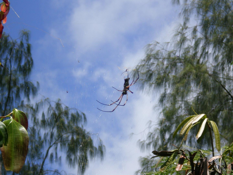 Spider...local