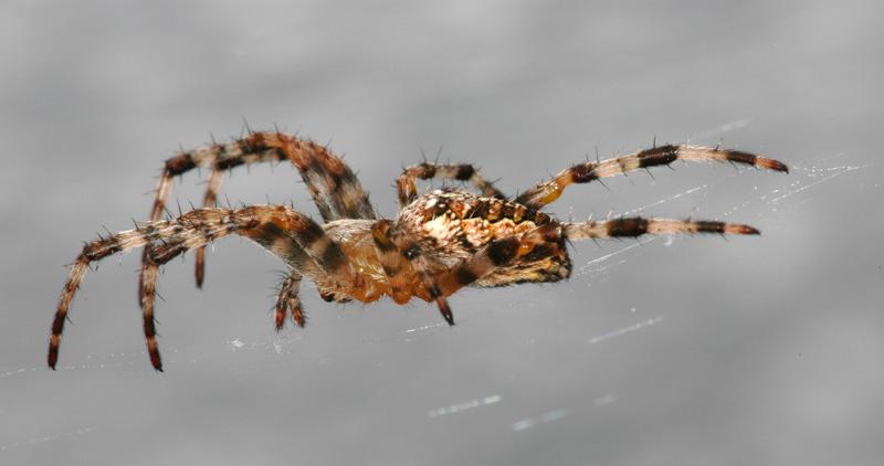 Spiderman auf der Lauer