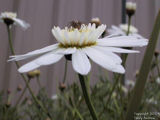Spider's Daisy