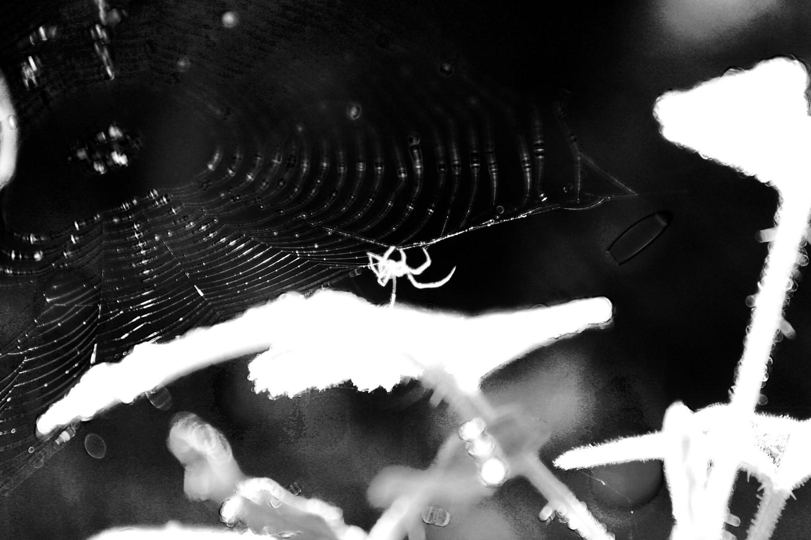 Spider.white.