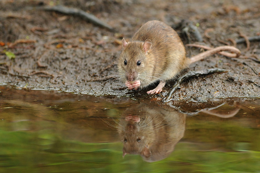 Spiegel-Ratte
