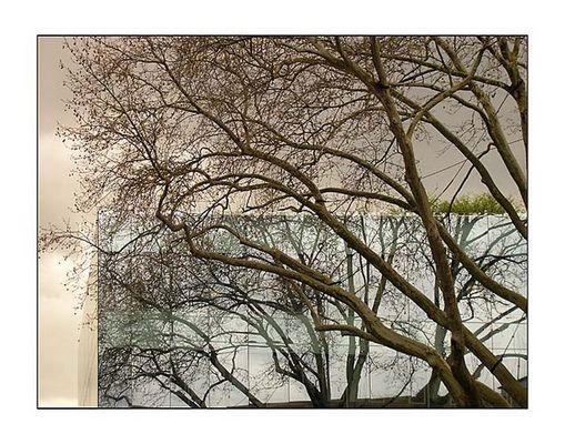 spiegelbaum