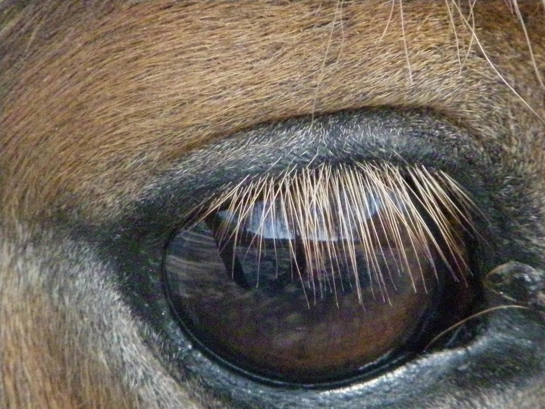 Spiegelbild im Pferdeauge
