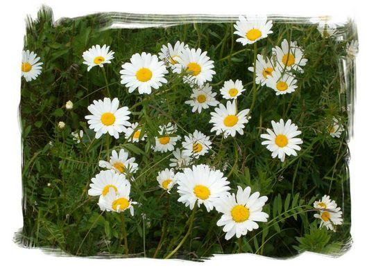 Spiegelblumeneier