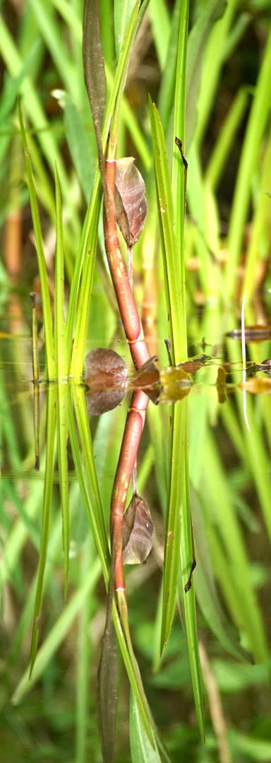 Spiegelung am Teich 1