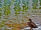 Spiegelung mit Ente
