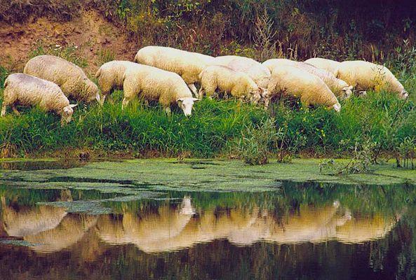 SpiegleinSpieglein.....Wer ist das schönste Schaf im Land ?
