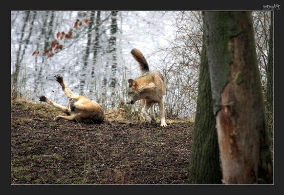 -Spiel unter Wölfen-