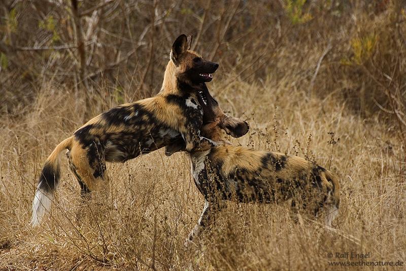 spielende Afrikanische Wildhunde