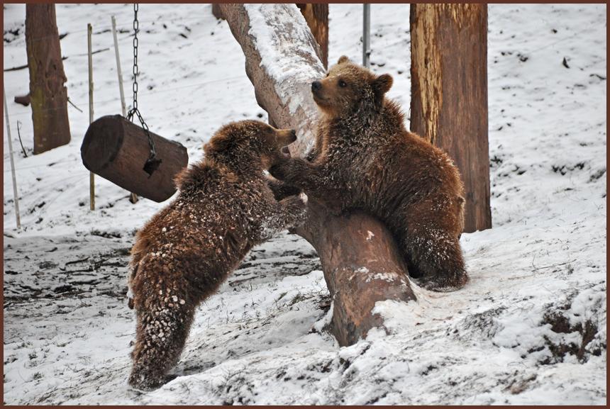 spielende Bärenkinder