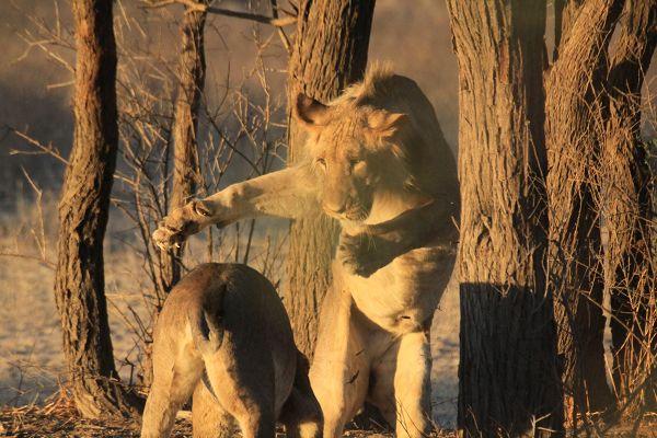 Spielende Löwen in der Kalahari