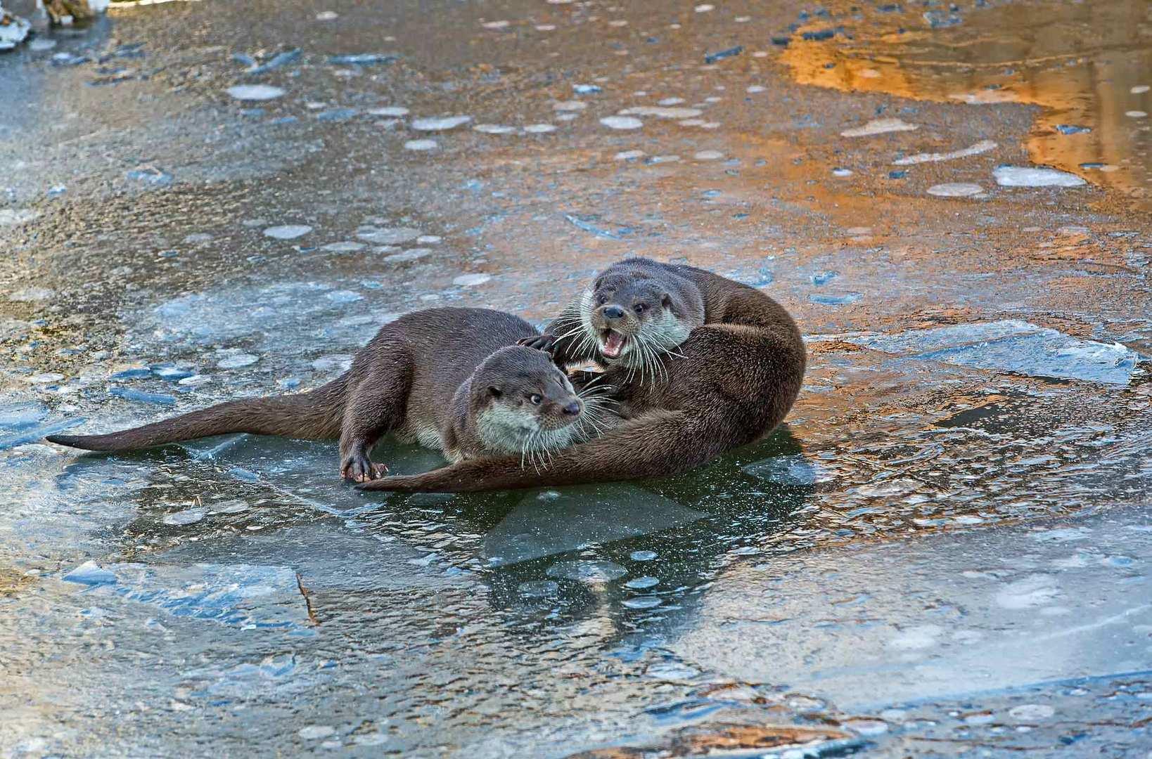 Spielende Otter am Morgen 2