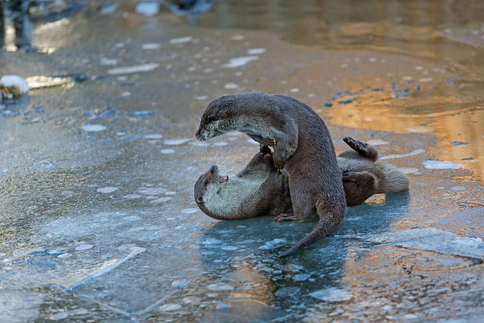 Spielende Otter am Morgen
