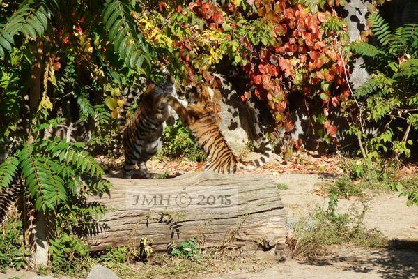 Spielende Tiger Kinder