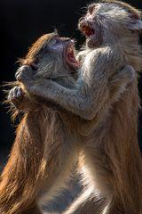 Spielerischer Kampf junger Husaren-Affen