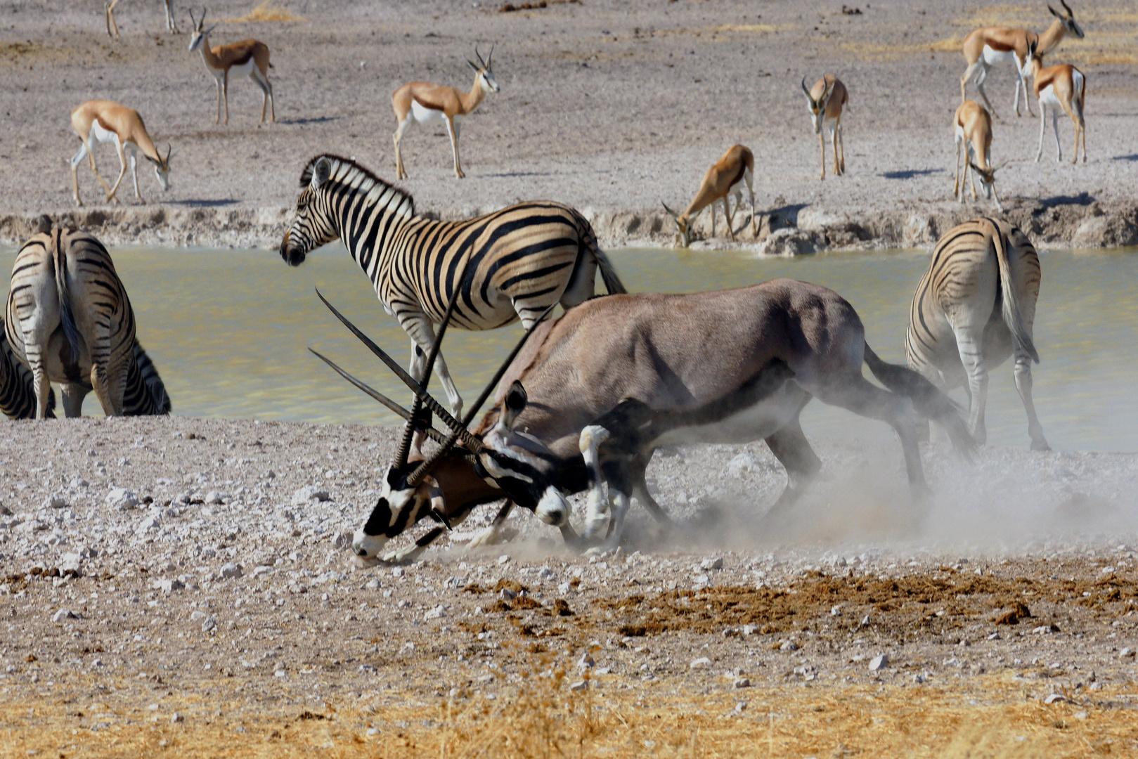 Spießböcke -Namibia