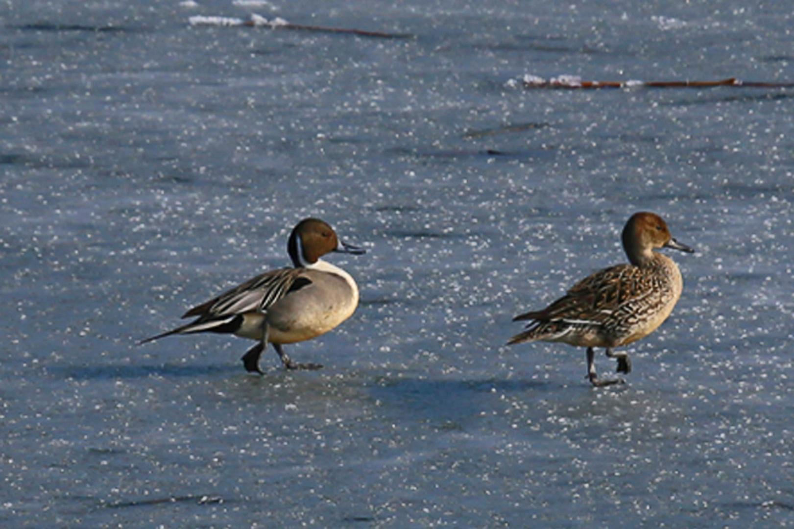 Spießentenpaar auf Eis