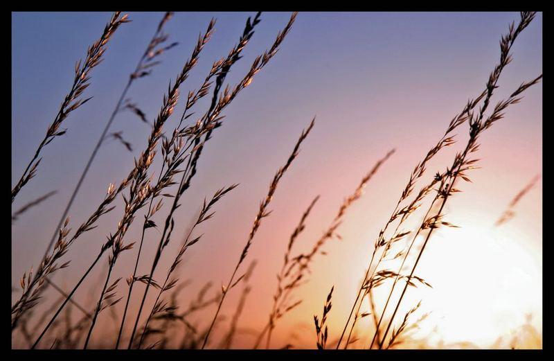 spighe al tramonto
