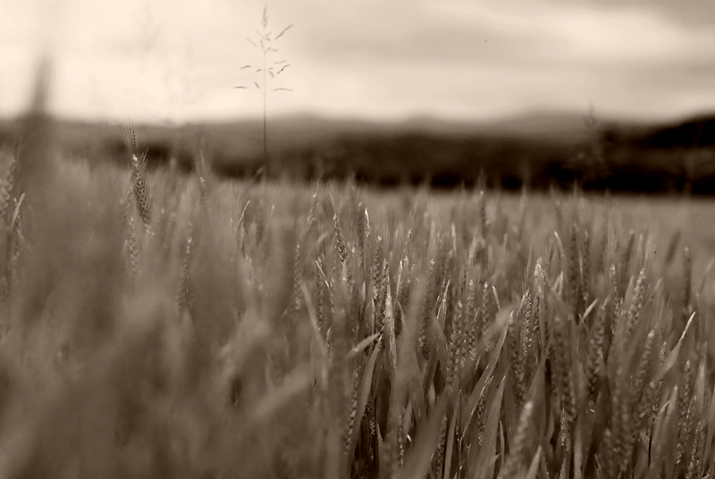 spigole di grano