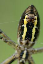 Spinndrüse der Wespenspinne