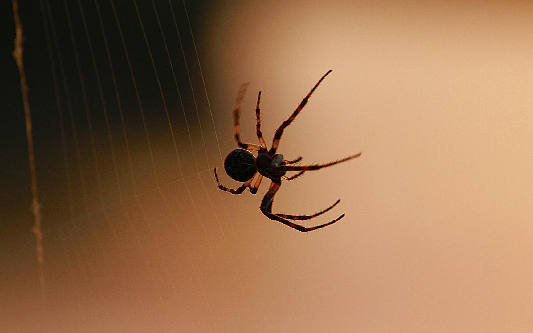 Spinne 1