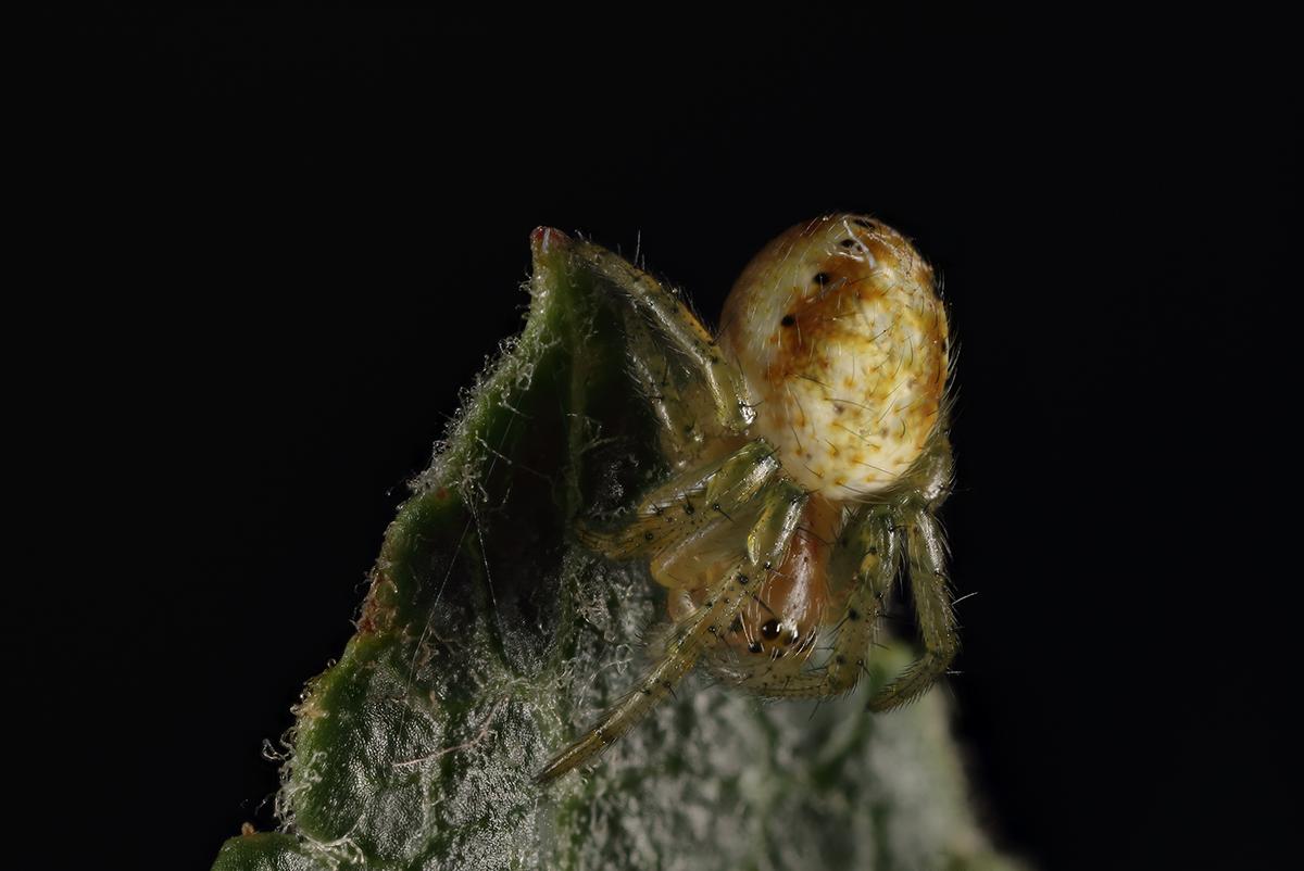 Spinne als Stack aus 8 Bildern