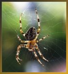 Spinne am Fenster