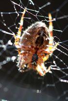 Spinne am sonnen