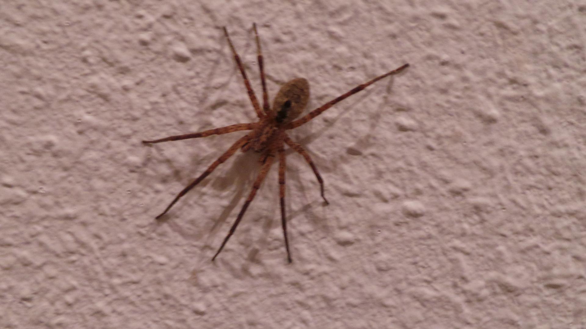 Spinne an der Wand