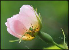 Spinne an Rose