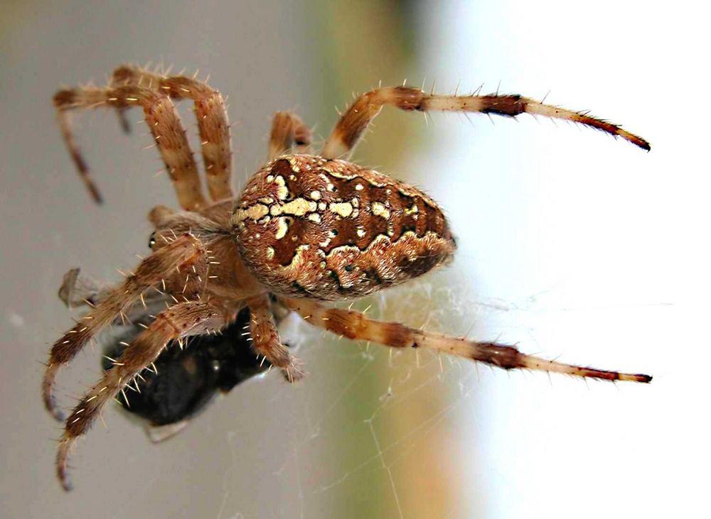 Spinne--Araneus diadematus