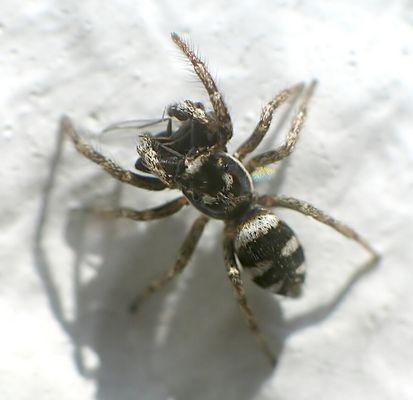 Spinne auf Beutefang